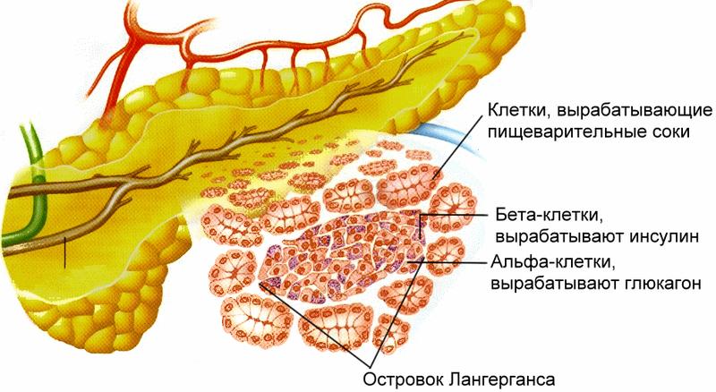 Роль поджелудочной железы в организме довольно существенна